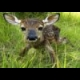 Baby Fawn Jigsaw online game