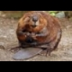Beavers Jigsaw online game