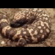 Gila Monster Jigsaw online game