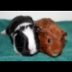 Guinea Pigs Jigsaw online game
