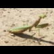 Praying Mantis Jigsaw online game