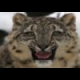 Snow Leopard Slider online game