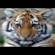 Tiger and Cubs Jigsaw online game